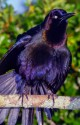Common Grackle on limb
