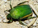 Green June Beetle (Bug)