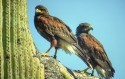 Harris Hawk (pair) on dead Saguaro