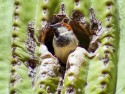 House Sparrow inside Saguaro