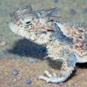 Northern Desert Horned Lizard