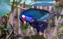 Purple Gallinule with young chick