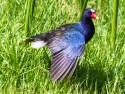 Purple Gallinule fanning wing
