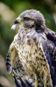 Red-shouldered Hawk - immature