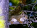 RedcSquirrel