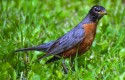 Robin on grass