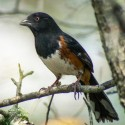 Roufus-sided Towhee
