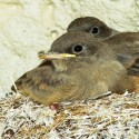 Say's Phoebe - chicks