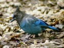 Stellar Jay on ground