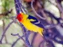 Western Tanager in tree