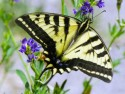 Western Tiger Swallowtail on flower