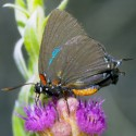 Great Purple Hairstreak on flower
