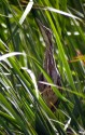 American Bittern in Cattails