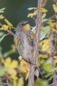 Yellow-rumped arbler