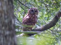 Barred Owl from a distance
