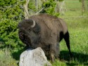 Bison scratching on rock