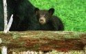 Black Bear (mom and cub)