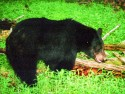 Black Bear (female)