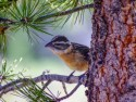 Black-headed Grosbeak in tree