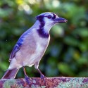 Blue Jay on limb