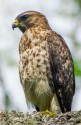 Broad-winged Hawk in tree