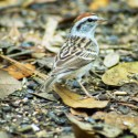 Chipping Sparrow on ground